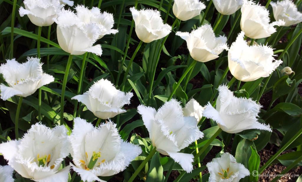 Люблю Отчизну. Московские тюльпаны